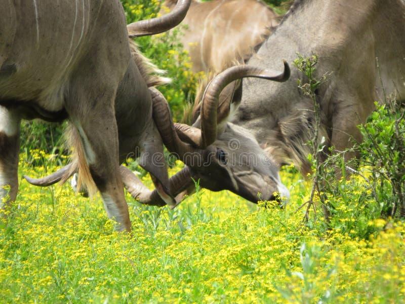 Ung Kudu tjurstridighet royaltyfria bilder