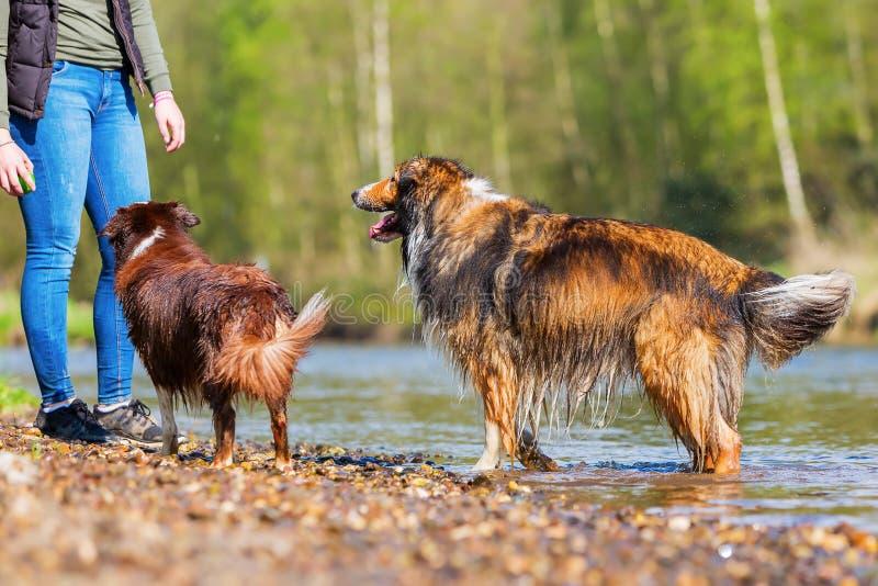Ung kvinna med två hundkapplöpning på floden royaltyfri fotografi