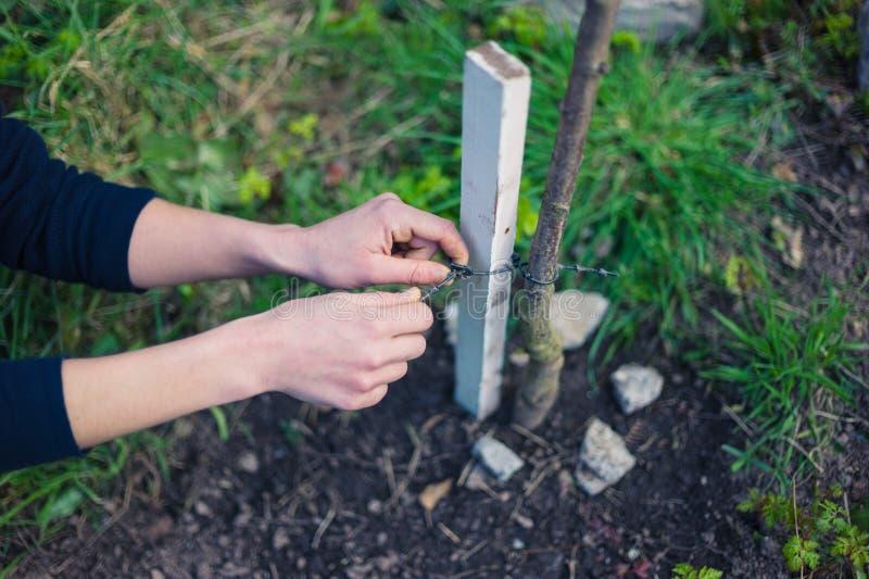Ung kvinna som binder trädet för att riskera royaltyfri foto