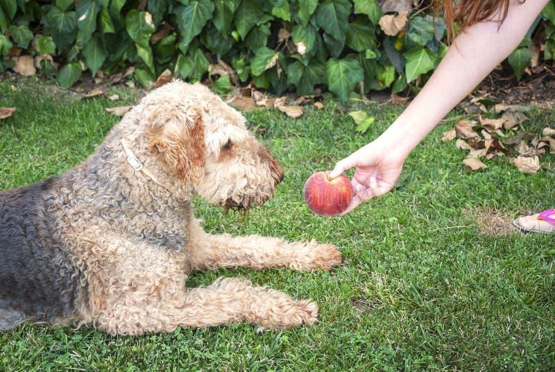 Ung kvinna som ger en persika till hennes hund, airdaleterrier F?rf?lja sammantr?de p? gr?set arkivfoton