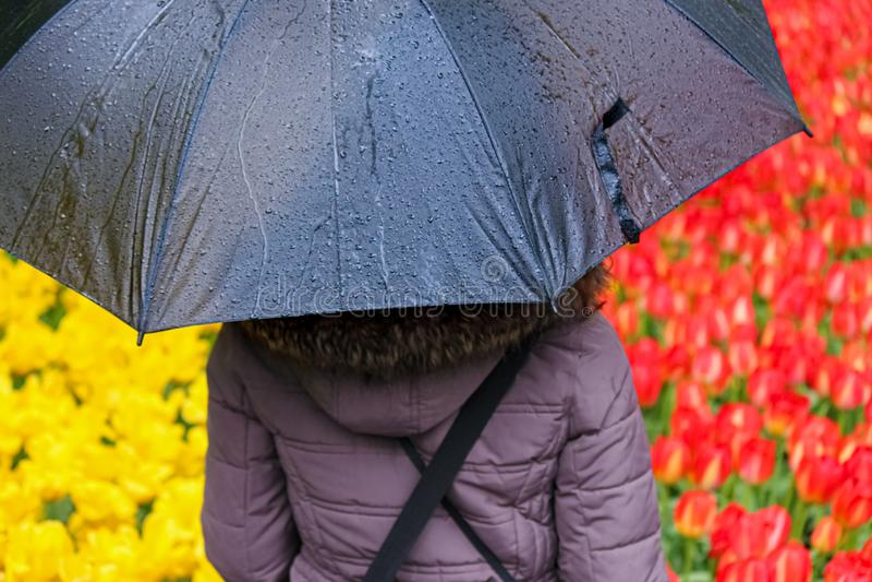 Ung kvinna som hidding under det gråa paraplyet Suddiga fält med färgrika röda och gula tulpan i bakgrund Holland Tulips Resor royaltyfri bild