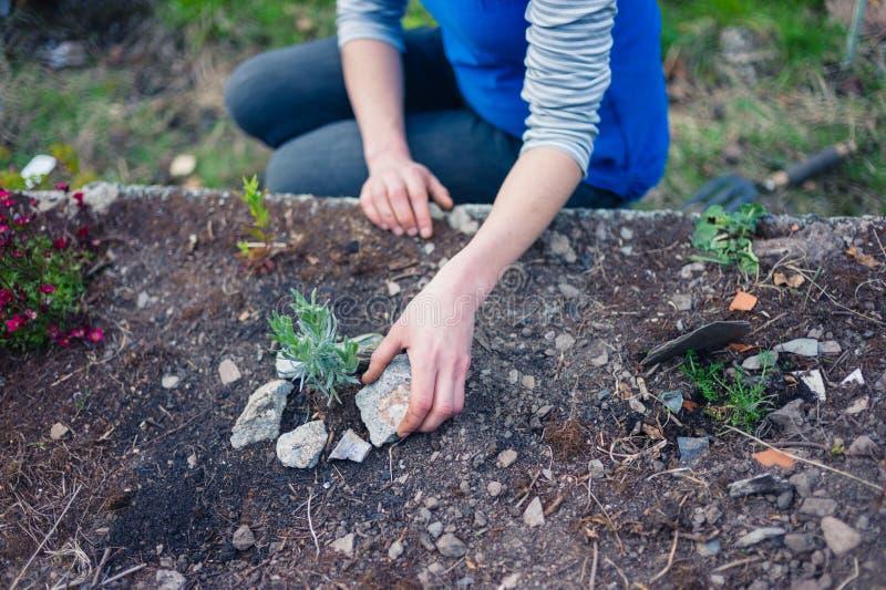 Ung kvinna som planterar lavendel i trädgård fotografering för bildbyråer