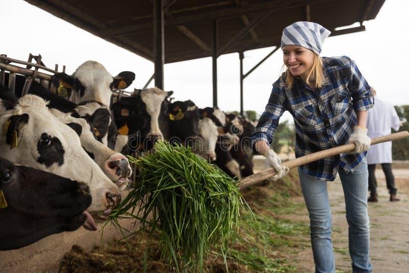 Ung kvinna som tar omsorg av kor i koladugård arkivbild