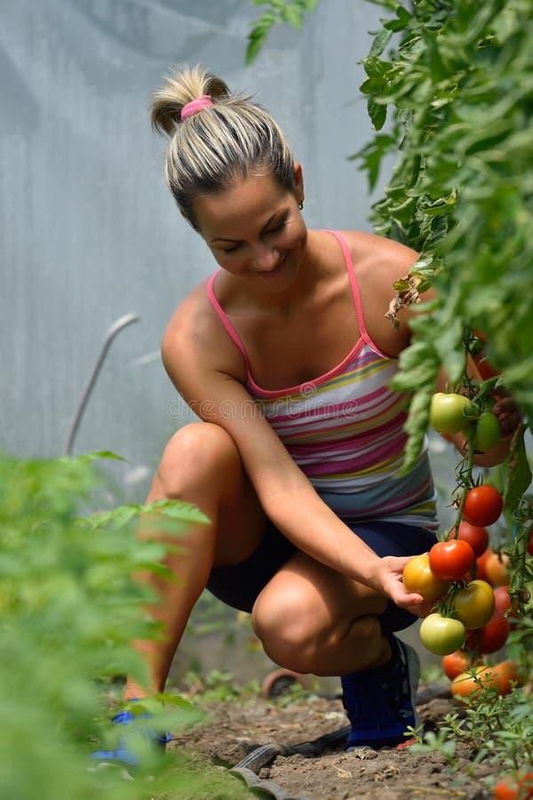 Ung kvinna som väljer nya tomater royaltyfria bilder
