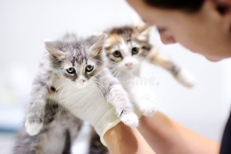 Ung kvinnlig veterinär- doktor som ser på gullig kattunge arkivfoto