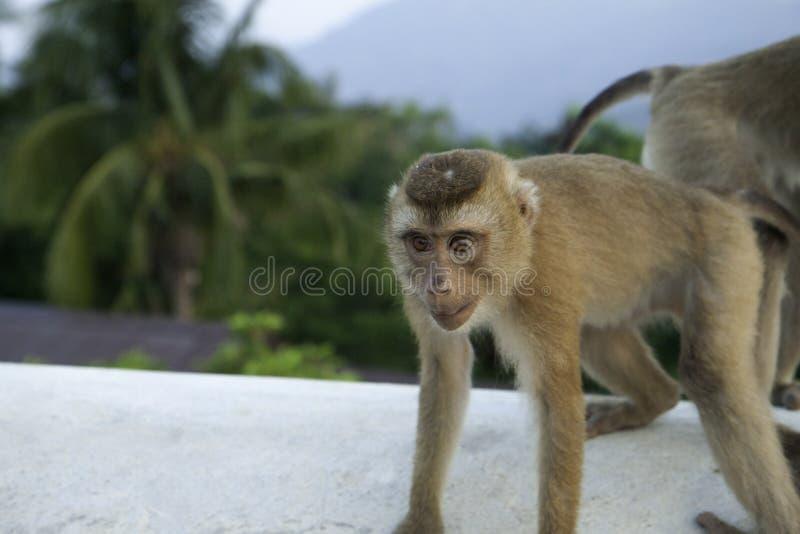 Ung lös apa på en bakgrund av djungeln och berg royaltyfri foto