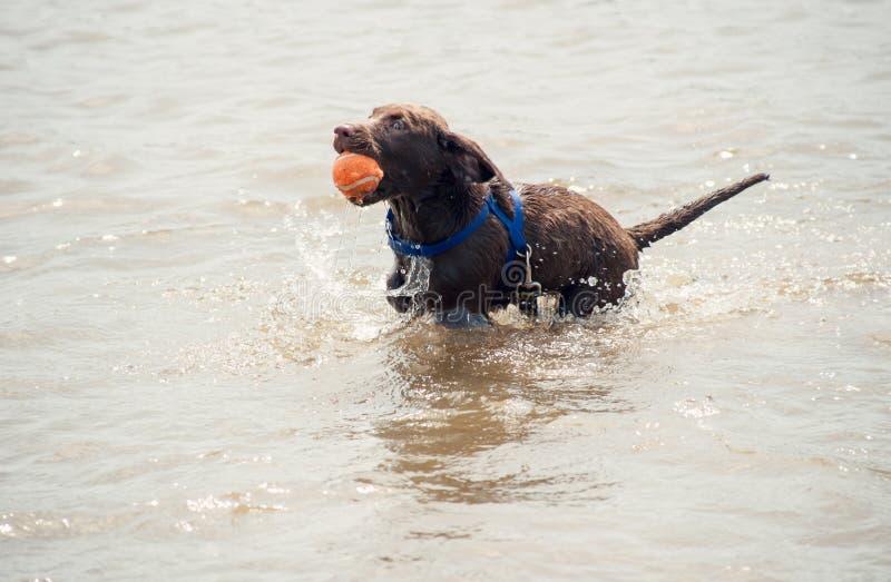 Ung labrador valp med en boll i vattnet fotografering för bildbyråer