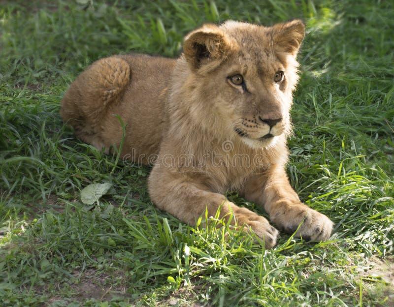 Ung lejonkonung på gräset royaltyfri bild