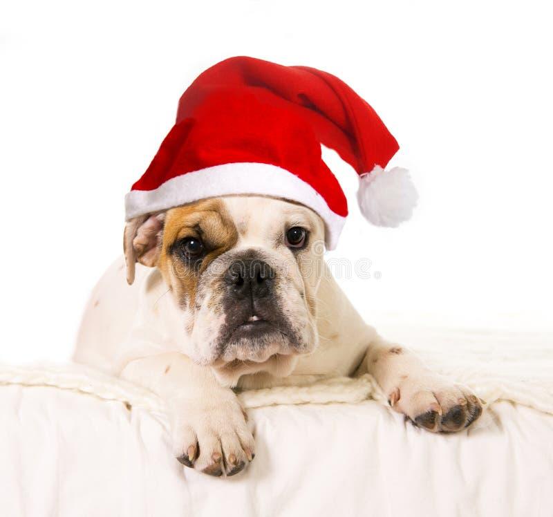 Ung liten gröngöling för fransk bulldogg som hemma ligger på säng med juljultomtenhatten arkivfoton