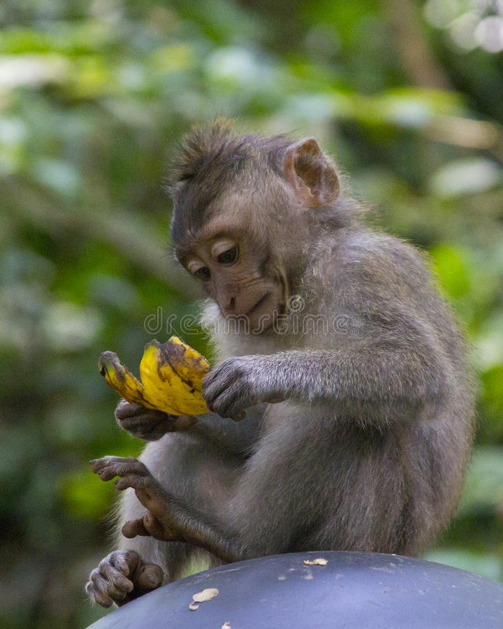 Ung Macaque i apaskogen, Ubud royaltyfri bild