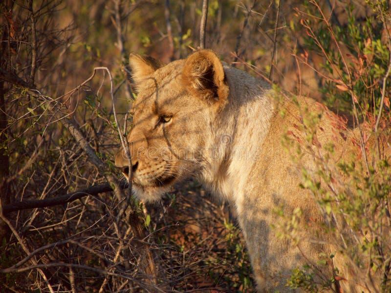 Ung male lion arkivbild