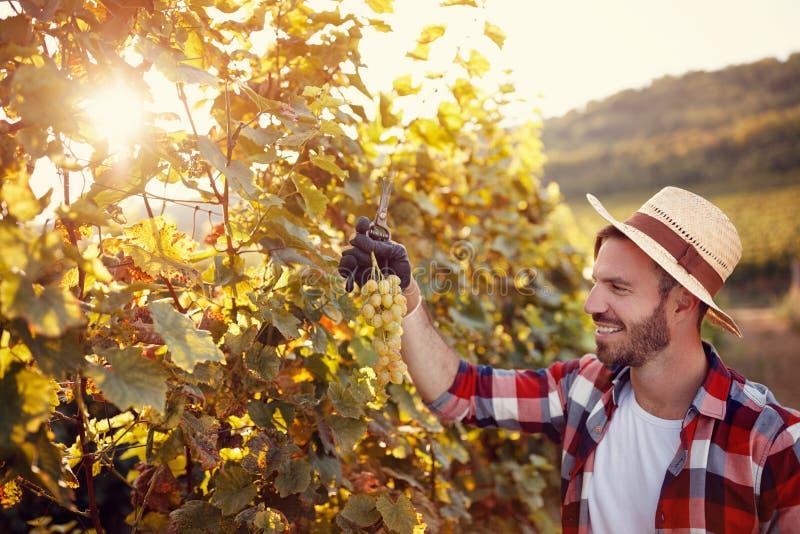 Ung man som arbetar i vingården som upp väljer mogna druvor royaltyfria foton