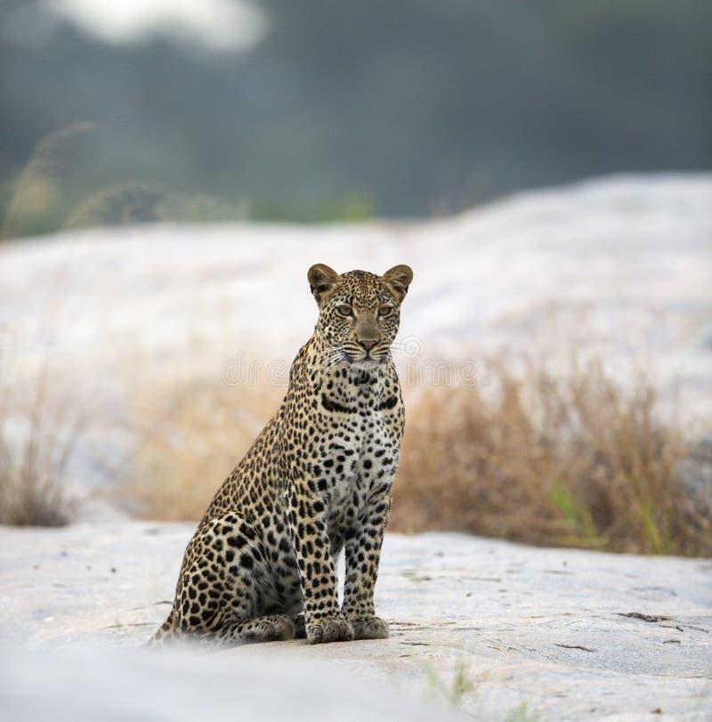 Ung manlig leopard i ottaljuset arkivbild