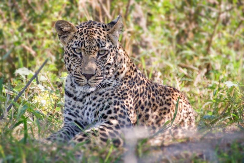 Ung manlig leopard, Sydafrika arkivbild