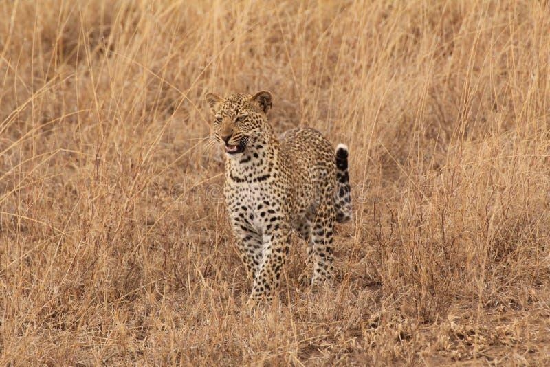 Ung manlig leopardjakt royaltyfria bilder