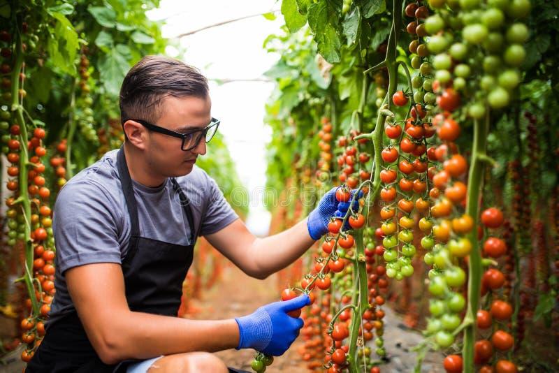 Ung manlig mankontroll de körsbärsröda tomaterna i växthus på familjjordbrukaffären royaltyfri fotografi