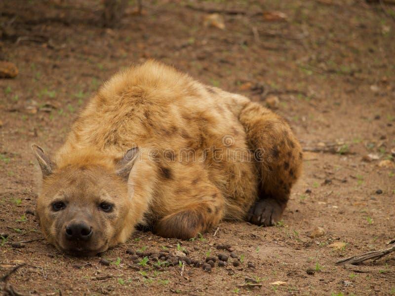 Ung manlig prickig hyena royaltyfri foto