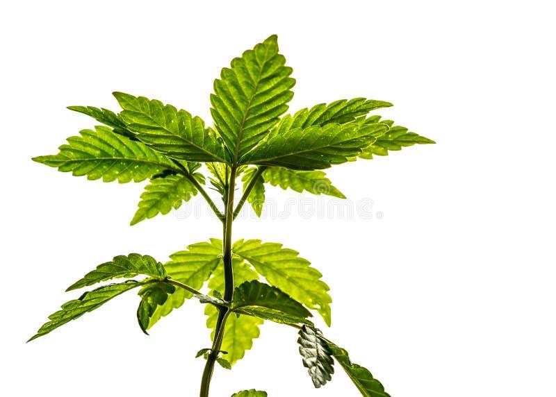 Ung marijuanaväxt på vit royaltyfri fotografi