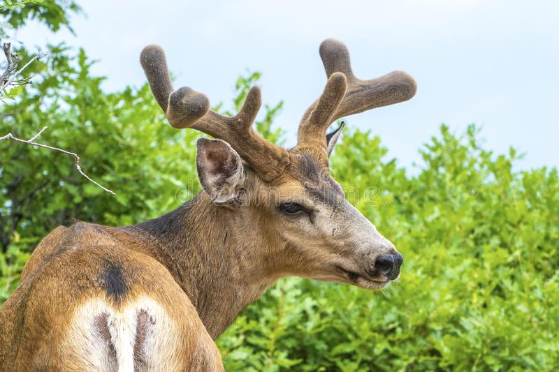 Ung mula Buck Deer i sammethorn och horn på kronhjort arkivbilder