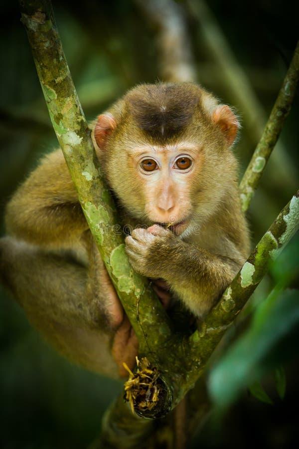 Ung nordlig Svin-tailed Macaque fotografering för bildbyråer