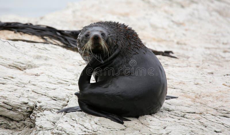 Ung nyazeeländsk pälsskyddsremsa (Nya Zeeland) royaltyfri foto