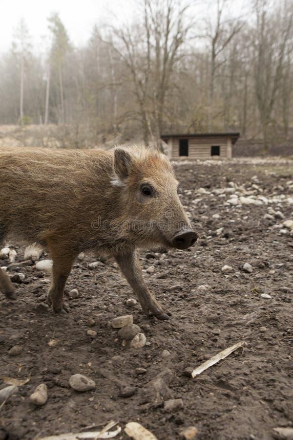 Ung nybörjare för youngen för vilt svin för galt i organisk dalta lantgård arkivfoto