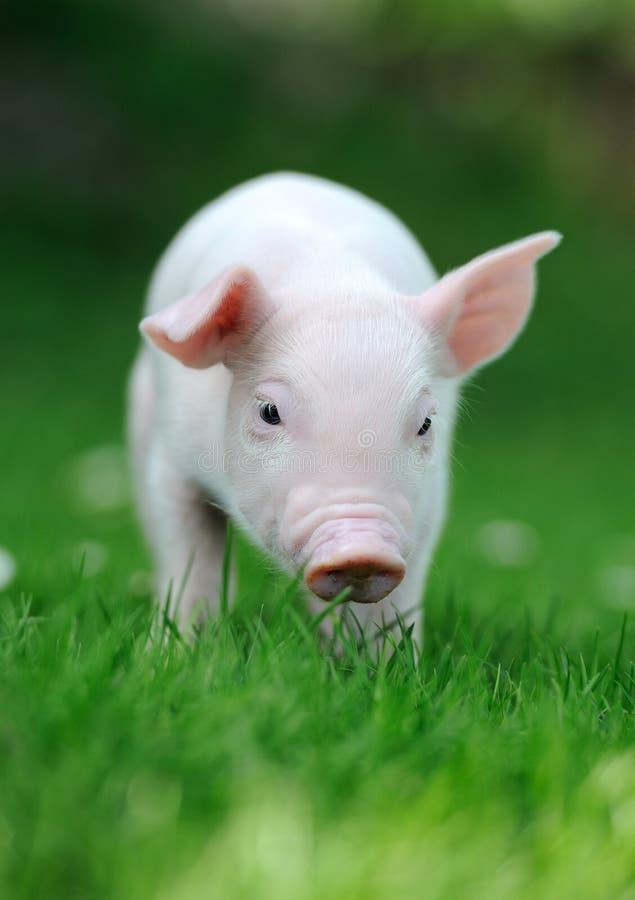 Ung Pig arkivfoton