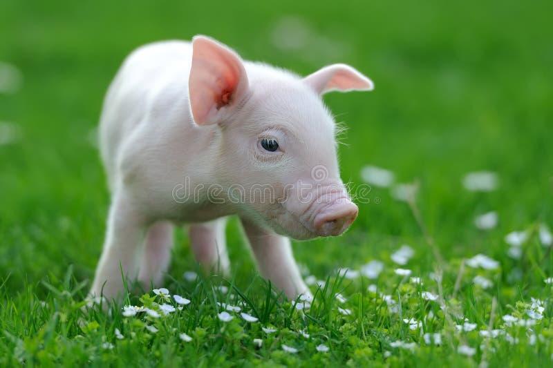 Ung Pig royaltyfri fotografi