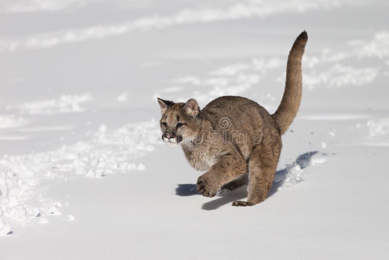 Ung puma i snö arkivfoto