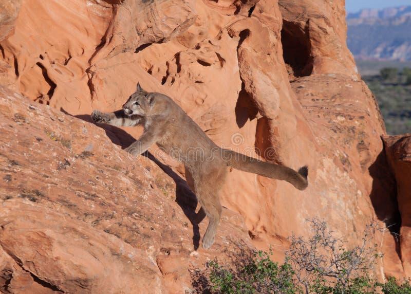 Ung pumabanhoppning från jordningen upp på en avsats för röd sandsten i sydliga Utah royaltyfria foton