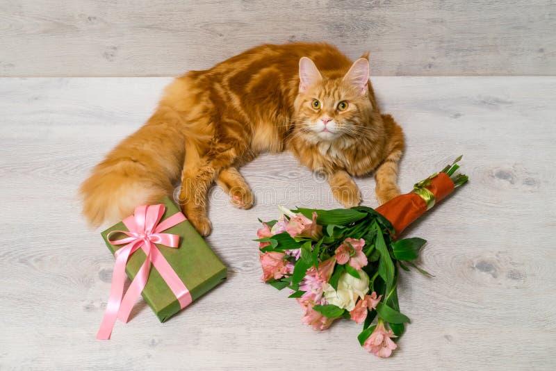 Ung röd katt av den Maine Coon aveln som ligger på trätabellen med sänkan arkivfoton