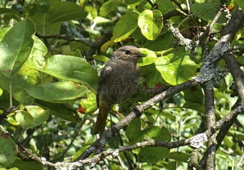 Ung Redstart fågel på en filial royaltyfri foto