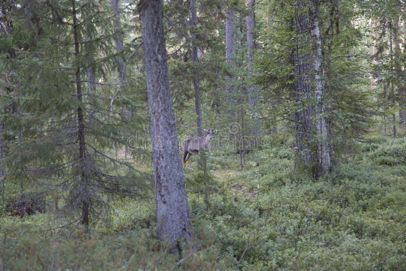 Ung ren i fullföljande Lapland arkivfoto