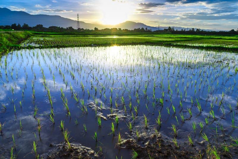 Ung risfält med bergsolnedgångbakgrund fotografering för bildbyråer