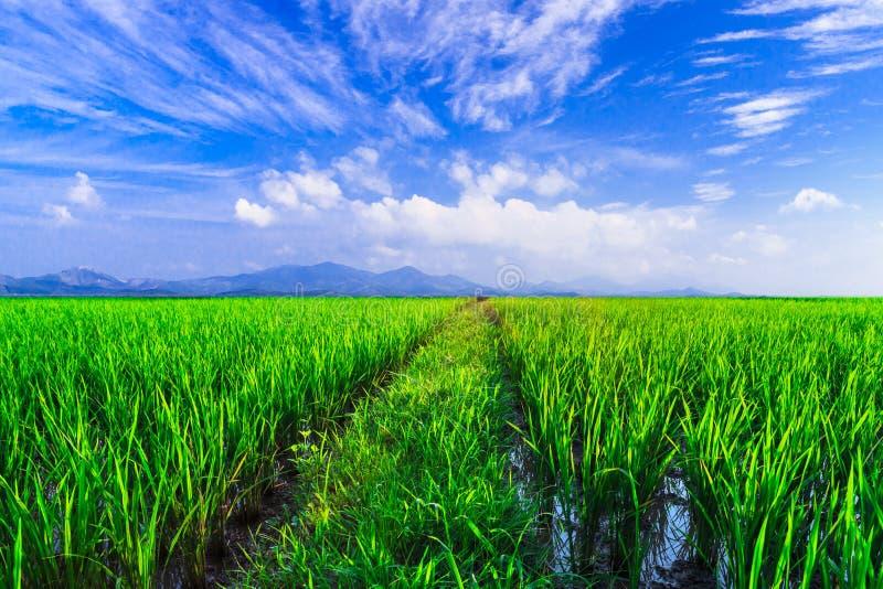 Ung risfält med bergsolnedgångbakgrund royaltyfria foton