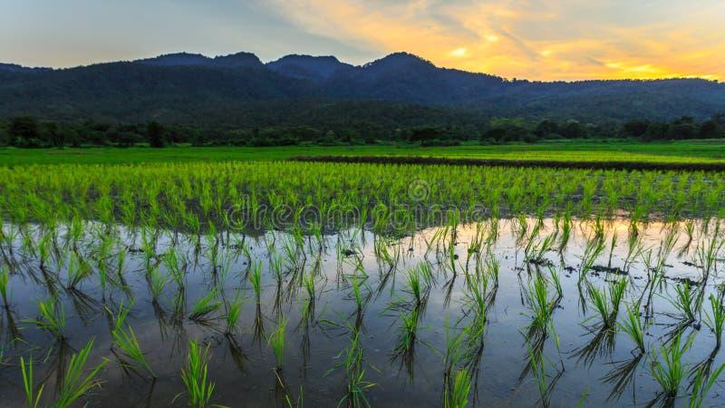 Ung risfält med bergsolnedgångbakgrund royaltyfri bild