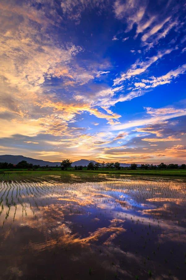 Ung risfält mot reflekterad solnedgånghimmel royaltyfri fotografi