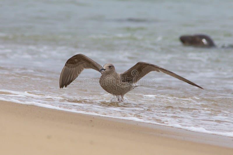 Ung sillfiskmås på stranden royaltyfri bild