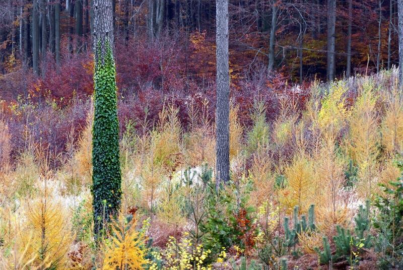 Ung skog med autumnally färger royaltyfria foton