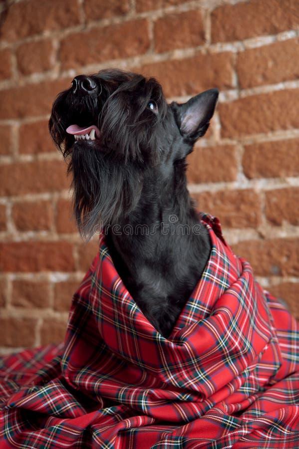 Ung skotsk terrier på en tartantorkduk arkivfoton