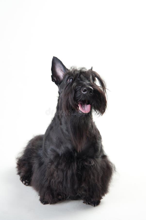Ung skotsk terrier på en vit bakgrund royaltyfri bild