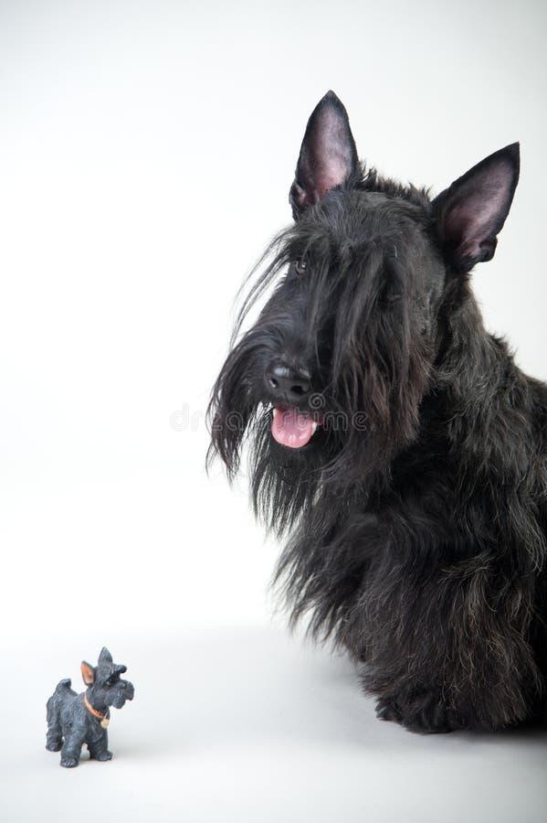 Ung skotsk terrier på en vit bakgrund arkivbilder