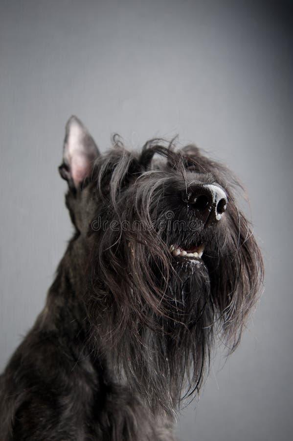 Ung skotsk terrier på grå bakgrund royaltyfri bild