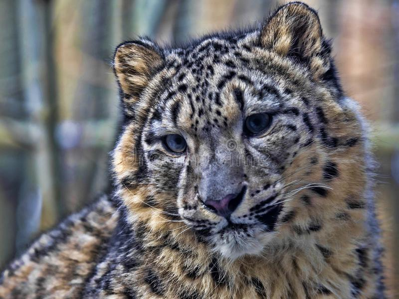 Ung snöleopard, Uncia uns som sitter på snö royaltyfri foto
