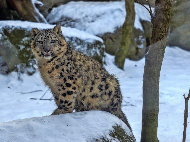 Ung snöleopard, Uncia uns som sitter på snö royaltyfria foton