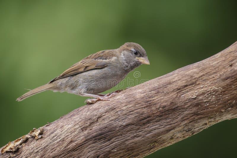 Ung sparrow arkivfoto