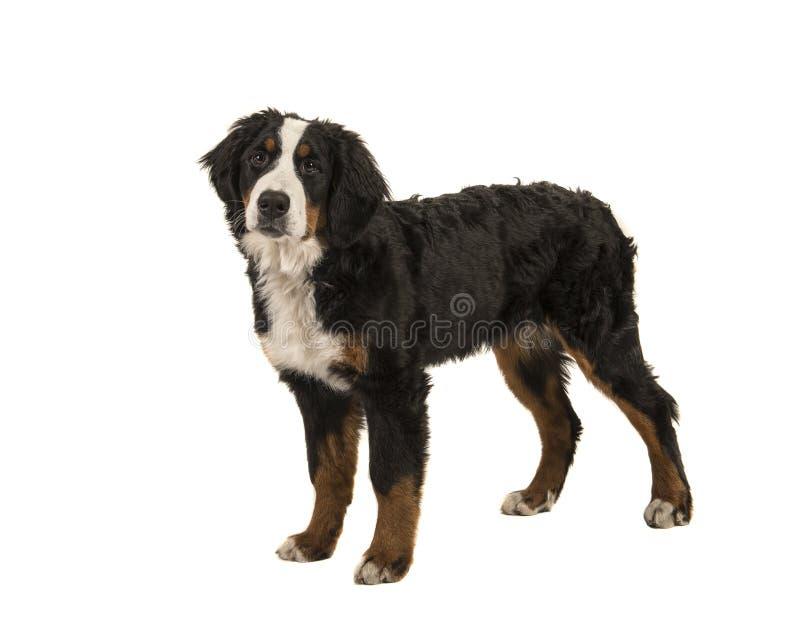 Ung stående hund för bernese berg på en vit backgrou royaltyfri bild