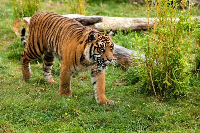 Ung Sumatran tiger som stryker omkring till och med grönska royaltyfri bild