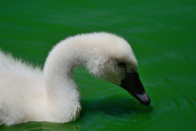 Ung svan i vattnet royaltyfri bild