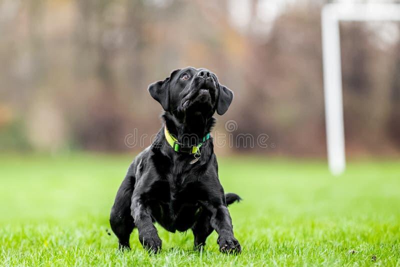 Ung svart labrador som väntar för att fånga en boll arkivfoto